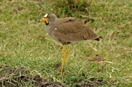 African Wattled Lapwing - Vanellus senegallus - Masai Mara Kenya - D2X 186 11-8-14E.jpg