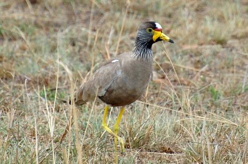 African Wattled Lapwing - Vanellus senegallus - Masai Mara NP Kenya - D2X 2017-11-02-167CE.jpg