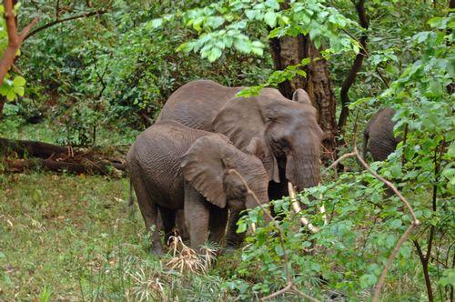 African bush elephant - Loxodonta Africana - Lake Manyara NP Tanzania D2X 098 11-13-14E.jpg