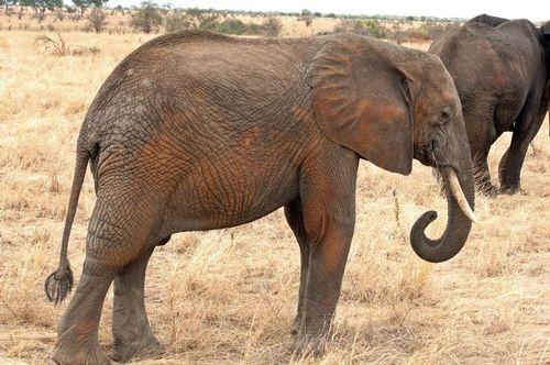 African bush elephant - Loxodonta Africana - Tarangire NP Tanzania D2X 011 11-20-14E.jpg