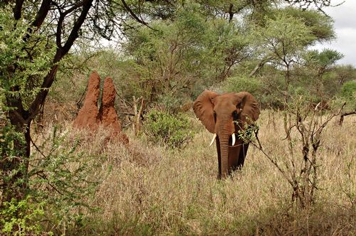 African bush elephant - Loxodonta Africana - Tarangire NP Tanzania D2X 027 11-21-14E.jpg