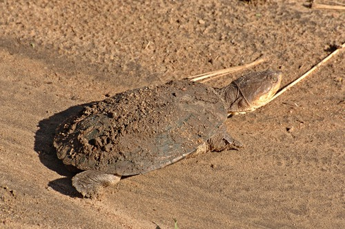 African helmeted turtle - Pelomedusa subrufa - Tarengire NP Tanzania D2X 038 11-22-14E.jpg