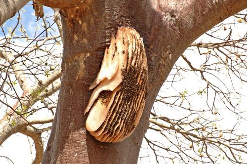 African honey bee - Apis mellifera scutellata - Tarengire NP Tanzania D2X 092 11-21-14E.jpg