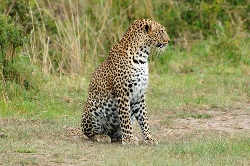 African leopard - Panthera pardus pardus - Masai Mara NP Kenya - D2X 2017-11-04-099CE.jpg