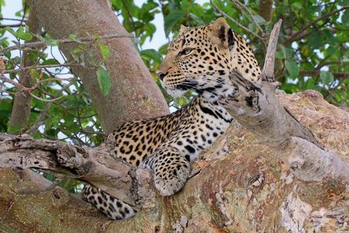 African leopard - Panthera pardus pardus - Masai Mara NP Kenya - D800 2017-11-04-128CE.jpg