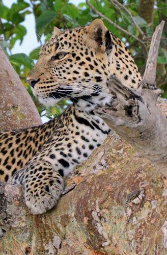African leopard - Panthera pardus pardus - Masai Mara NP Kenya - D800 2017-11-04-128CE2.jpg