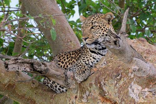 African leopard - Panthera pardus pardus - Masai Mara NP Kenya - D800 2017-11-04-131CE.jpg