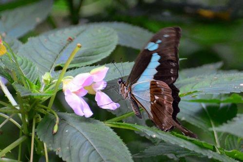 Apple-green Swallowtail - Papilio phorcas - Kakamega NP Kenya - D800 2017-10-31-266CE.jpg