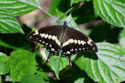 Apple-green Swallowtail - Papilio phorcas - Kakamega NP Kenya - D800 2017-10-31-289CE.jpg