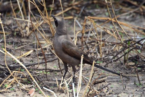 Ashy Starling - Lamprotornis unicolor - Tarengire NP Tanzania D800 026 11-20-14CE.jpg
