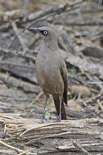 Ashy Starling - Lamprotornis unicolor - Tarengire NP Tanzania D800 030 11-20-14CE.jpg