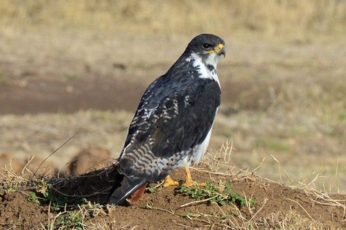 Augur Buzzard - Buteo augur - Ngorongoro NP Tanzania - D800 2017-11-10-093CE.jpg