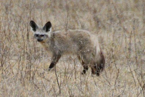 Bat-eared Fox - Otocyon megalotis - Ngorongoro NP Tanzania - D800 131 11-19-14CE.jpg