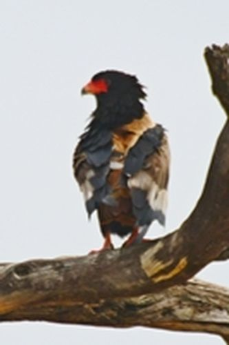 Bateleur - Terathopius ecaudatus - Tarengire NP Tanzania D800 196 11-20-14CE.jpg