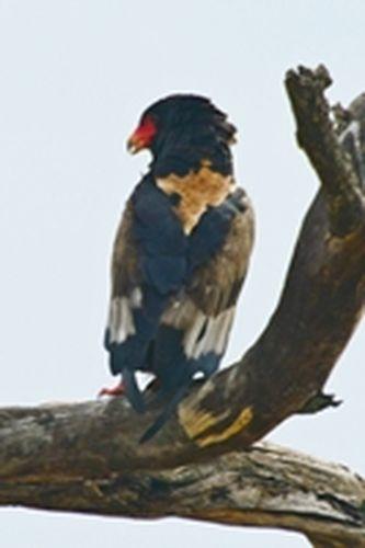 Bateleur - Terathopius ecaudatus - Tarengire NP Tanzania D800 205 11-20-14CE.jpg