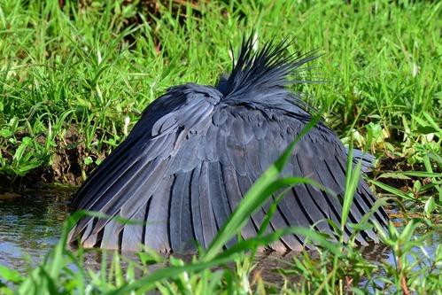Black Heron - Egretta ardesiaca - Lake Manyara NP Tanzania - D800 2017-11-13-644CE.jpg