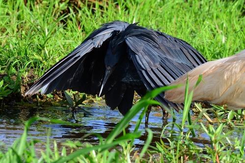 Black Heron - Egretta ardesiaca - Lake Manyara NP Tanzania - D800 2017-11-13-647CE.jpg