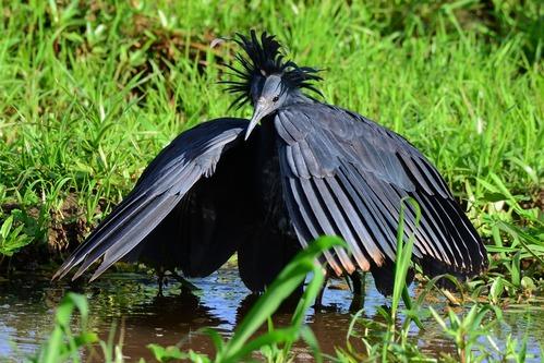Black Heron - Egretta ardesiaca - Lake Manyara NP Tanzania - D800 2017-11-13-650CE.jpg