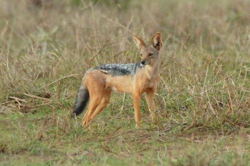 Black-backed Jackal - Canis mesomelas - Amboseli NP Kenya D2X 2017-11-17-059CE.jpg