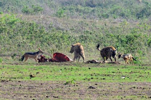 Black-backed Jackal - Canis mesomelas - Amboseli NP Kenya D800 2017-11-17-167CE.jpg