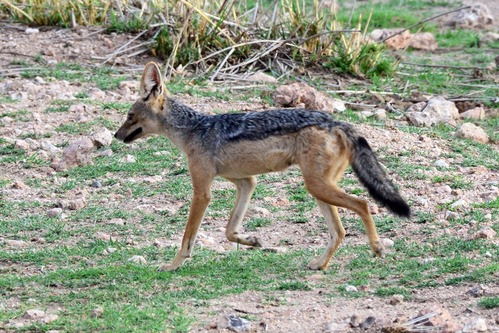 Black-backed Jackal - Canis mesomelas - Amboseli NP Kenya D800 2017-11-17-245CE.jpg