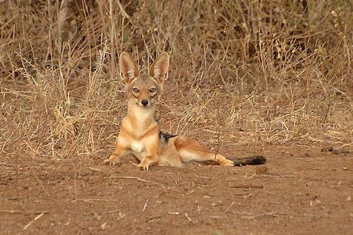 Black-backed Jackal - Canis mesomelas - Lake Manyara NP Tanzania D2X 083 11-13-14CE.jpg