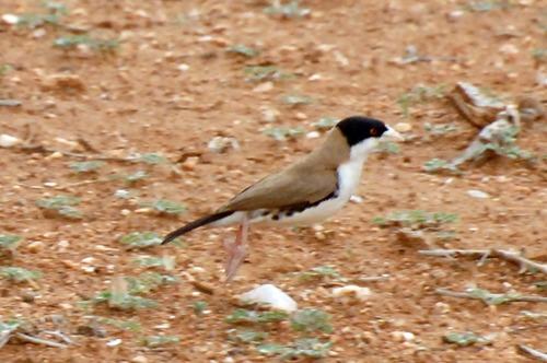 Black-capped Social-Weaver - Pseudonigrita cabanisi - Samburu NP - D2X 2017-10-24-044CE.jpg