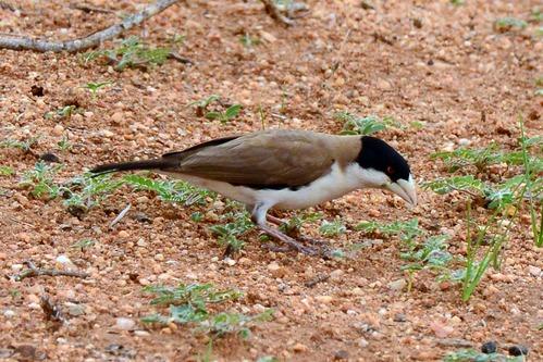 Black-capped Social-Weaver - Pseudonigrita cabanisi - Samburu NP - D800 2017-10-24-206CE.jpg