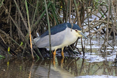 Black-crowned Night-Heron - Nycticorax nycticorax - Ngorongoro NP - D800 2017-11-10-453CE.jpg