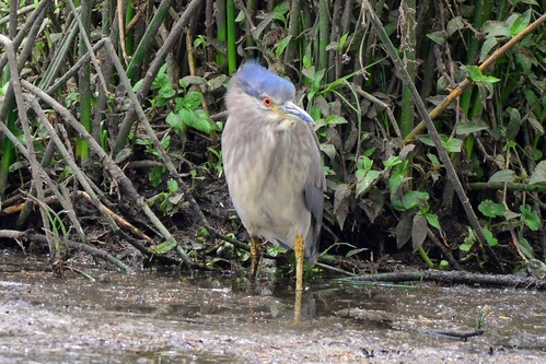 Black-crowned Night-Heron - Nycticorax nycticorax - Ngorongoro NP - D800 2017-11-10-462CE.jpg