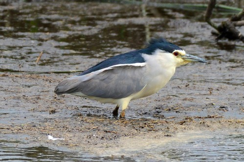 Black-crowned Night-Heron - Nycticorax nycticorax - Ngorongoro NP - D800 2017-11-10-571CE.jpg