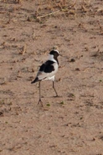 Blacksmith Plover - Vanellus armatus - Tarengire NP Tanzania  D2X 279 11-20-14CE.jpg