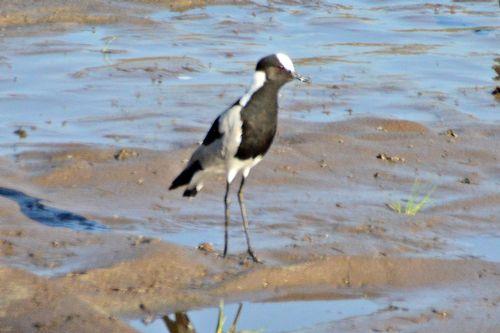Blacksmith Plover - Vanellus armatus - Tarengire NP Tanzania D800 107 11-22-14CE.jpg