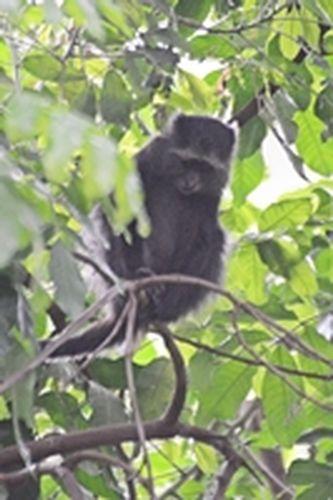 Blue Monkey - Cercopithecus mitis - Lake Manyara NP Tanzania D800 019 11-13-14CE.jpg