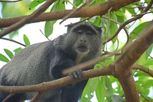 Blue Monkey - Cercopithecus mitis - Lake Manyara NP Tanzania D800 071 11-13-14CE.jpg