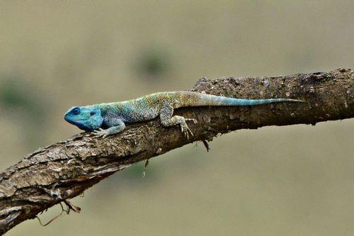 Blue-headed Tree Agama - Acanthocercus Atricollis - Serengeti NP D800 246 11-15-14CE.jpg