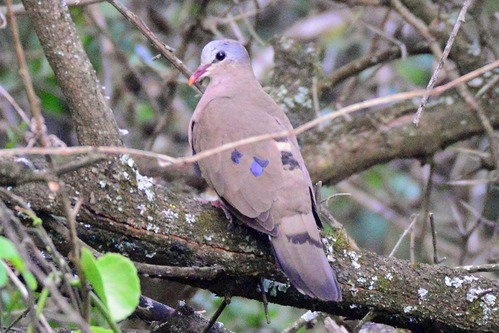 Blue-spotted Wood-Dove - Turtur afer - Ruma NP Kenya - D800 2017-11-01-105CE.jpg