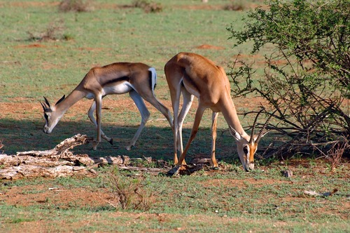 Brights Gazelle - Nanger granti notata - Samburu NP Kenya - D2X 2017-10-25-111CE.jpg