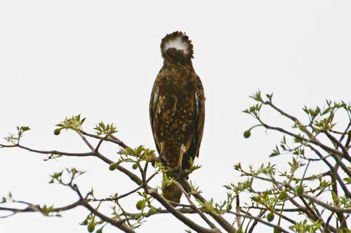 Brown Snake Eagle - Circaetus cinereus - Tarengire NP Tanzania D800 022 11-20-14CE.jpg