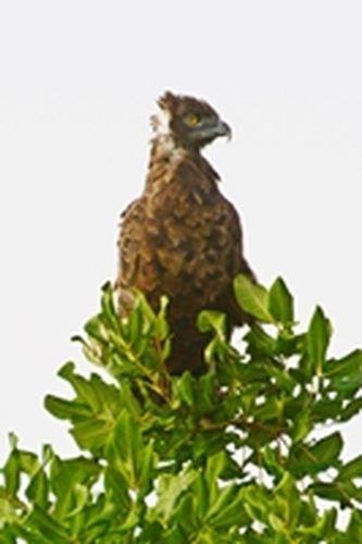 Brown Snake Eagle - Circaetus cinereus - Tarengire NP Tanzania D800 271 11-20-14CE.jpg