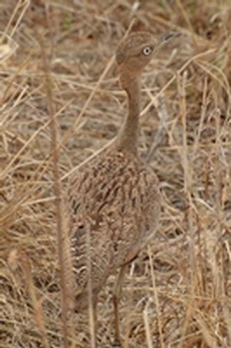 Buff-crested Bustard - Eupodotis gindiana - Tarangire NP Tanzania D2X 026 11-20-14CE.jpg