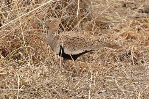 Buff-crested Bustard - Lophotis gindiana - Tarengire NP Tanzania D2X 031 11-20-14CE.jpg