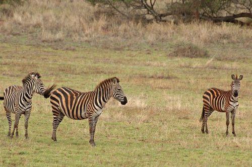 Burchells Zebra - Equus burchelli - TarengireNP Tanzania D2X 069 11-21-14E.jpg