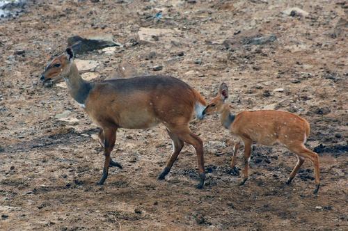 Bush Buck - Tragelaphus scriptus - Aberdares NP - Tanzania - D2X 2017-10-23-008CE.jpg
