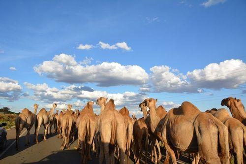 Camel jam along the road to Nairobi - Camelus dromedaries - Kenya D5200 079 11-22-14.jpg