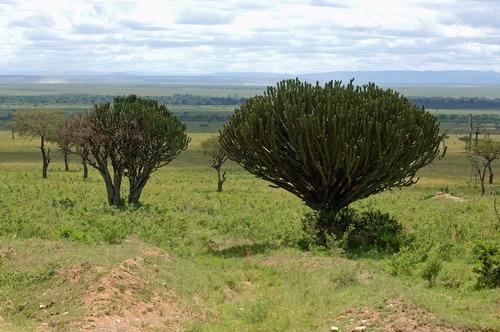 Candelabra tree - Euphorbia candelabrum - Masai Mara NP Tanzania - D2X 2017-11-02-031E.jpg