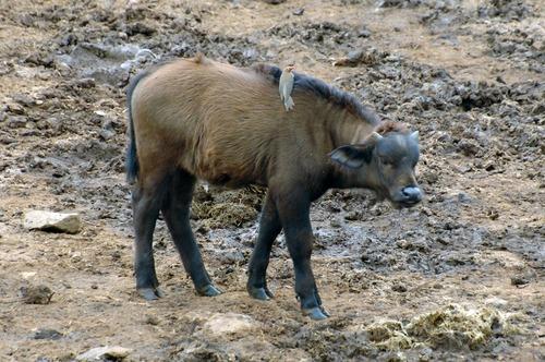 Cape Buffalo - Syncerus caffer cafer -  Aberdares NP Kenya - D2X 2017-10-23-020CE.jpg