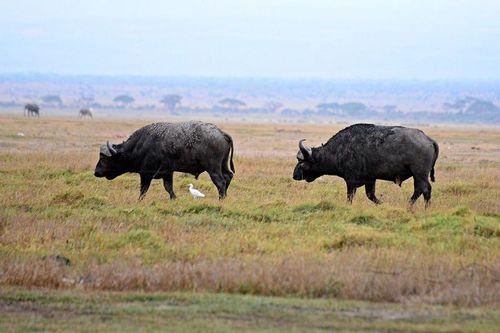 Cape Buffalo - Syncerus caffer cafer - Amboseli NP Kenya D800 004 11-11-14CE.jpg