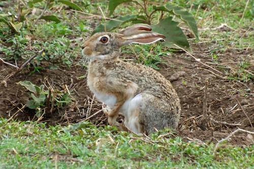 Cape Hare - Lepus capensis - Ngorongoro NP Tanzania - D2X 2017-11-11-055CE.jpg