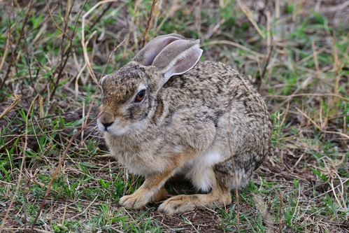 Cape Hare - Lepus capensis - Ngorongoro NP Tanzania - D800 2017-11-10-564CE.jpg